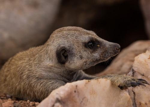 Erdmänchen - Namibia